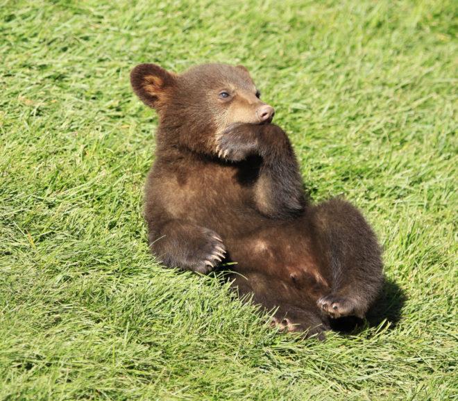 Bear Thinking