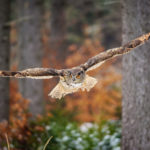Owl Looking For Prey