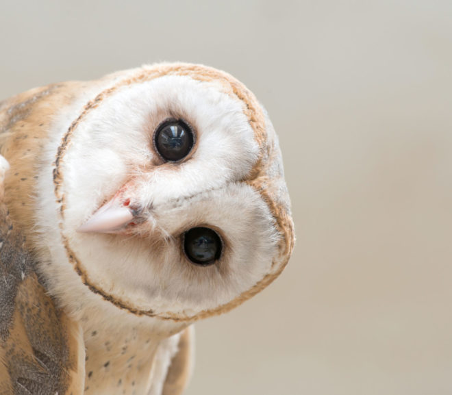 Owl With Tilted Head
